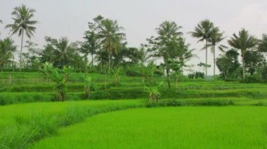 Beautifful rice fields in bali — Stock Video