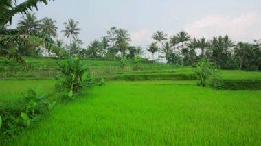 Beautifful rice fields in bali — Стоковое видео