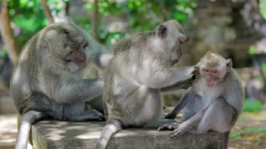 Monkey family cleaning louse — Stok video