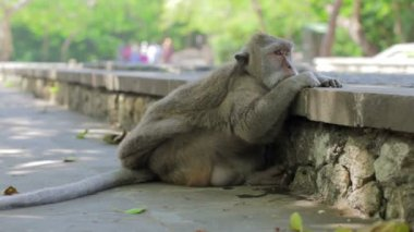 Monkey thinking in uluwatu temple, bali — Stock Video
