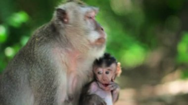Monkey family in uluwatu temple, bali — Stok video