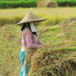Workers on rice field — Stock Video #23109594
