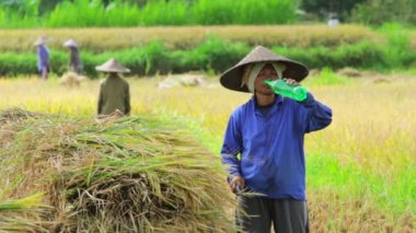 Workers on rice field — Stock Video