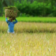 Agriculture workers on rice field in bali — Vidéo
