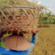 Agriculture workers on rice field in bali — Stock Video #23112886