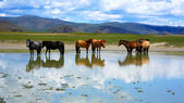 Mongolian horses in vast grassland, mongolia — Stock Photo