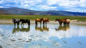 Mongoliska hästar i stora vall, mongoliet — Stockfoto