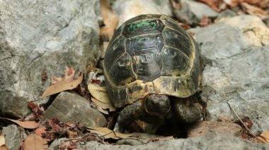 Tek kaplumbağa — Stok video