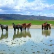 Stock Video: Mongolihorses in vast grassland