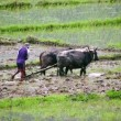 Mploughing in rice paddy — Stock Video #38907941