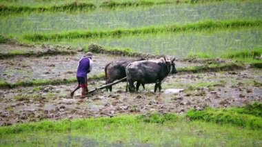 Man ploughing in rice paddy — Stock Video