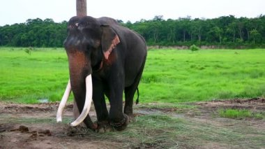 Elephants — Stock Video