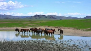 Mongolian horses in vast grassland — Stock Video