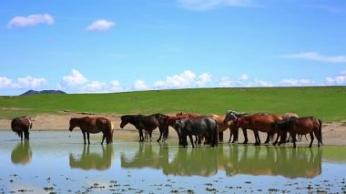 Mongolian horses in vast grassland — Stockvideo