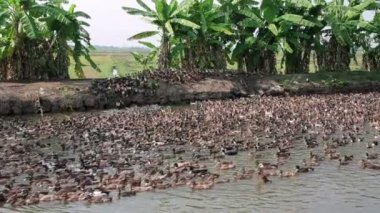 Large colony of ducks — Stockvideo