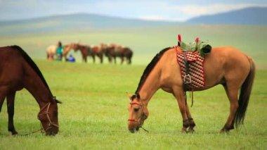Mongolian horses in vast grassland — Stockvideo
