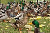 She-duck — Stock Photo