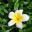 Stock Photo: Frangipani flower on grass