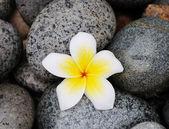 Kwiat Frangipani na kamienie — Zdjęcie stockowe