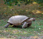 Running turtle — Stockfoto