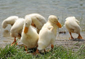 Young ducks near the water — Stock Photo