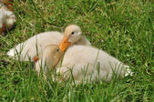 Two ducklings on the grass — Stock Photo