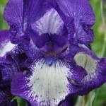 Iris close-up — Stock Photo #19499473