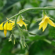Tomatoe flower - Foto Stock