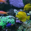 Yellow fish on a coral reef — Foto de Stock