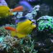 Yellow tang on a coral reef — Stock Photo