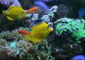Tang jaune sur un récif de corail — Photo