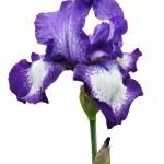 Violet iris flower isolated — Stock Photo #26438357
