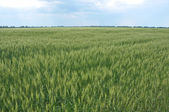 Campo de trigo verde — Foto Stock