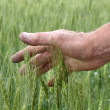 Stock Photo: Man's hand touching wheat