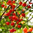 Bright red cherries on the branch — Stock Photo