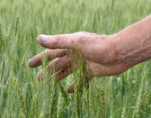 Man's hand touching wheat — Stock Photo