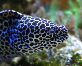 Spotted moray — Stock Photo
