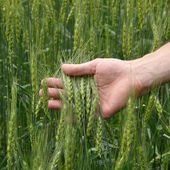 Man's hand holding wheat — Stock Photo