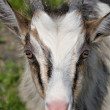 Goatling portret — Stock Photo