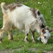 Goatling with bell — Stock Photo
