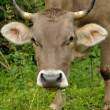 Brown cow portret with grass — Stock Photo