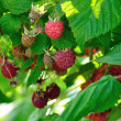 Raspberries on cane — Stock Photo #29016025