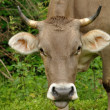 Stock Photo: Portrait of Brown cow with long horns