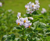 Potato bush with flowers — Stock Photo