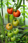 Branch of red ripe and green unripe tomatoes — Stock Photo