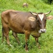 Stock Photo: Brown cow on grass