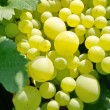 Stock Photo: Abundance of ripe white grapes