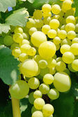 Abundance of ripe white grapes — Stock Photo