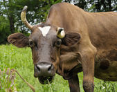 Brown cow with curved horn — Stock Photo