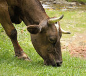 Brown cow feeding near a river — Stock Photo